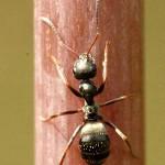 Lasius.niger