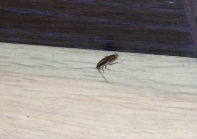 tarakonas suaugelis