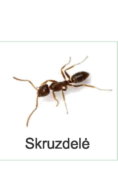 skruzdele